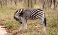 Wild Striped Zebra  In National Kruger Park In South Africa Royalty Free Stock Photography - 30742457