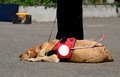 Guide Dog Resting Stock Images - 30762744