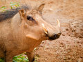 Warthog Stock Photography - 30772102