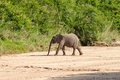 Wild Elephant Come To Drink In Africa In National Kruger Park In UAR Royalty Free Stock Photo - 30773575