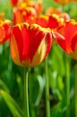 Red Beautiful Tulips Stock Photography - 30794072