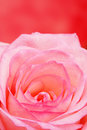 Rose Stock Photography - 3080642
