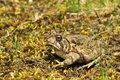 Fowlers Toad Stock Image - 30802861