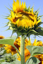 Sunflower Bud Stock Images - 30803904