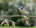 Blue Tit On Apple Tree In Spring Royalty Free Stock Images - 30804919