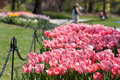 Tulips Royalty Free Stock Photography - 30805137
