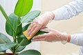 Cleaning Ficus Plant Stock Images - 30818954