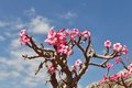 Bottle Tree In Bloom Royalty Free Stock Images - 30825319