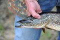 Fisherman Holding Pike Fish (Esox Lucius) Stock Photos - 30846023