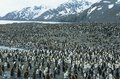 Large Colony Of Penguins Stock Image - 30846211