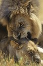 Male Lion Biting Lioness On Savannah Stock Photography - 30846432