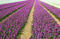 Field With Hyacinths Stock Photos - 30864193