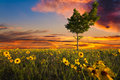 Lopsided Tree In A Sunflower Field Royalty Free Stock Images - 30864399