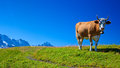 Cow On Meadow Royalty Free Stock Images - 30872729