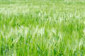 Barley Field Royalty Free Stock Images - 30886379
