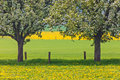 Blossoming Trees In A Dandelion Filled Meadow Royalty Free Stock Images - 30888599
