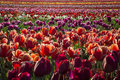Tulip Farm Royalty Free Stock Image - 30890516