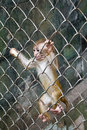 Cub Of The Monkey In A Cage Stock Images - 3099934