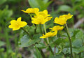 Marsh Marigold Stock Photo - 30902480