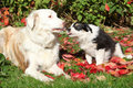 Nice Border Collie Bitch With Puppy In Red Leaves Royalty Free Stock Photography - 30918007