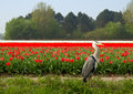 Dutch Tulips Field With Grey Heron Royalty Free Stock Images - 30928429