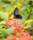 Great Mormon Butterfly Royalty Free Stock Photos - 30933098