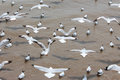 A Black Headed Gull  Flying Royalty Free Stock Image - 30933386