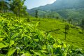 Beautiful Fresh Green Tea Plantation In Munnar Stock Image - 30941431