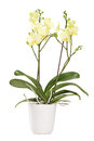 Yellow Orchid In A White Pot With Many Flowers Stock Images - 30946574
