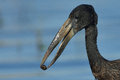 Open Billed Stork With Snail Royalty Free Stock Photography - 30947717
