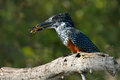 Giant Kingfisher With Crab In Beak Royalty Free Stock Photos - 30947768