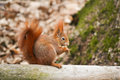 Red Squirrel Stock Photo - 30958240