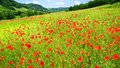 Red Poppies On Green Field Royalty Free Stock Image - 30969886