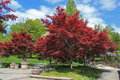 Red Maple Landscape Royalty Free Stock Photo - 30975705