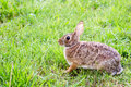 Wild Eastern Cottontail Rabbit, Sylvilagus Floridanus, In Field Royalty Free Stock Photography - 30976287
