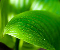 Water Drops On A Green Leaf Stock Photo - 30993900