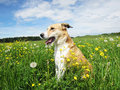 Dog In The Dandelion Meadow,(49) Stock Photo - 30995280