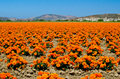 Marigold Farm In California Royalty Free Stock Images - 30995679