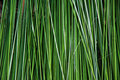 Green Reed Background Stock Photo - 30998800