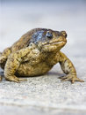 Old Toad Stock Photography - 3100502