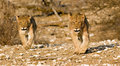 Lion Cubs On Their Round Royalty Free Stock Image - 3101246