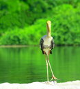 Stork Royalty Free Stock Images - 3104869