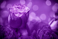 Roses Stock Images - 31014314