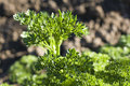 Curly Parsley Stock Photos - 31014863