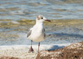 The Laughing Gull Strut Royalty Free Stock Photography - 31014927