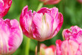 Pink Parrot Tulips With Variety Diana Ross Stock Images - 31016604