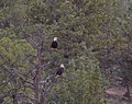 Pair Of Bald Eagles Sitting In Pine Forest Trees Royalty Free Stock Photos - 31034708