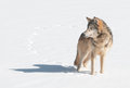Grey Wolf (Canis Lupus) Stands In Snow Looking Left Royalty Free Stock Photo - 31036265