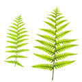 Fern Leafs Stock Photo - 31036880