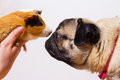 Dog And Guinea Pig Stock Photography - 31038822